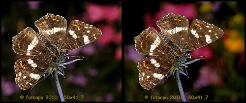 fotoopa 20100729_7802 Landkaartje - Araschnia levana