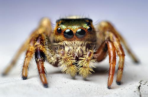 Young Paraphidippus aurantius Jumping Spider