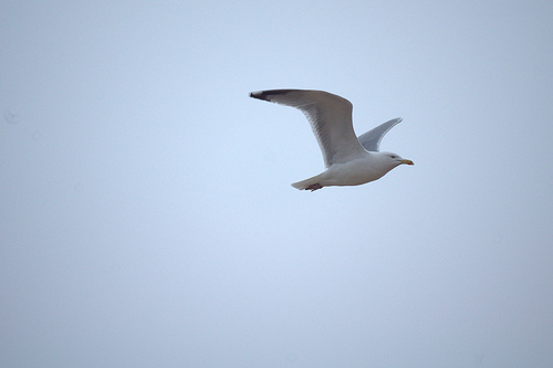 Flying seagull 1 (uncropped original)