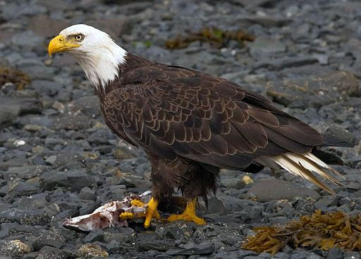 Using A Fish Slingshot For Better Eagle Photography