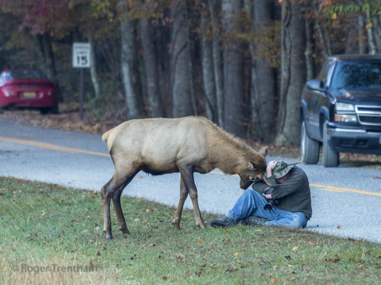 Bull Elk Spars Photographer, Camera Bag And Himself