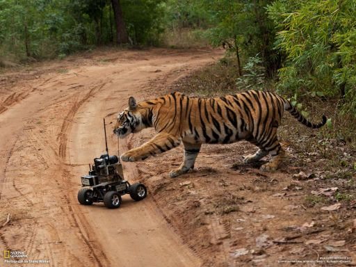 Camera Robot Triggers Tiger's Curiosity - Photos Roar!
