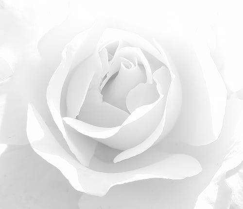 high-key-rose
