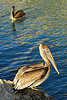 Brown Pelicans by mcshibler