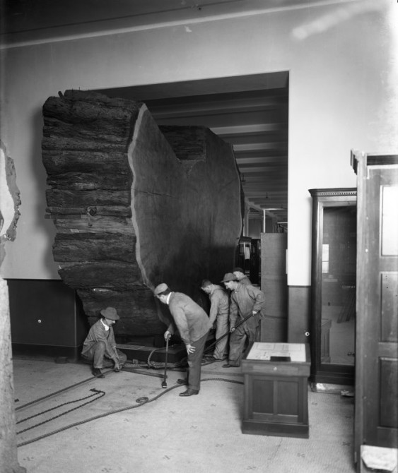 Moving section of giant sequoia into Hall of North American Forests, 1912. Credit: Julius Kirschner (33700)