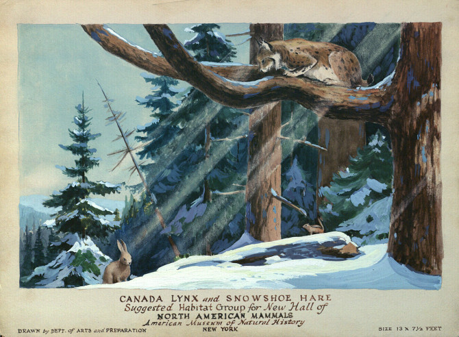 Painting of the suggested Canada Lynx and Snowshoe Hare Group habitat, Hall of North American Mammals, 1935 (art_003_b1_27)