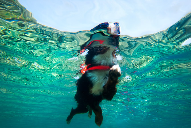 Black, tan and white Bernese Mountain Dog swimming in a clear blue lake with a lifejacket jp danko, toronto commercial photographer