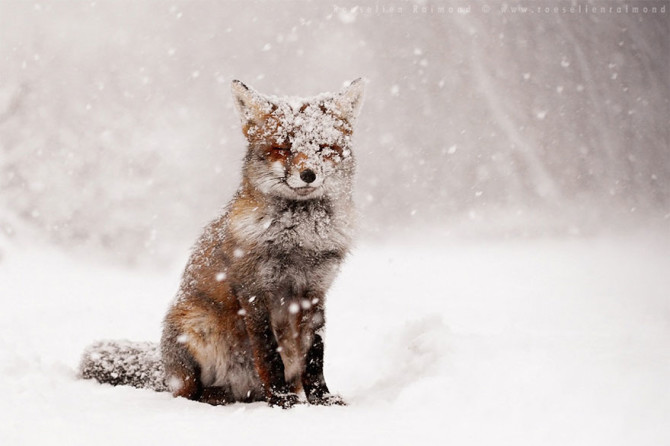 Fifty-Shades-Of-White-With-A-Touch-Of-Red-New-Fox-Photos-In-Winter-By-Roeselien-Raimond1__880