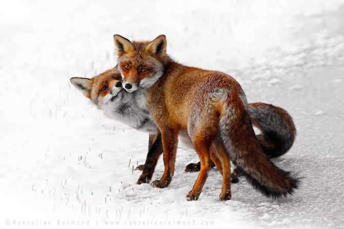 Fifty-Shades-Of-White-With-A-Touch-Of-Red-New-Fox-Photos-In-Winter-By-Roeselien-Raimond6__880