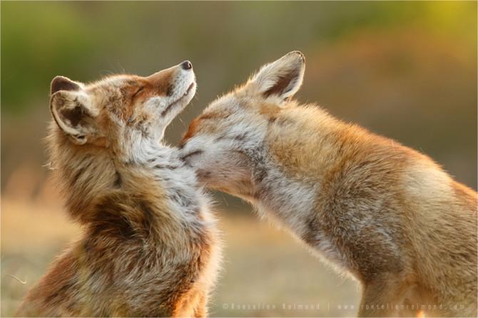 fox_affection