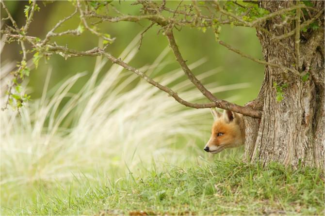 fox_kit_tree