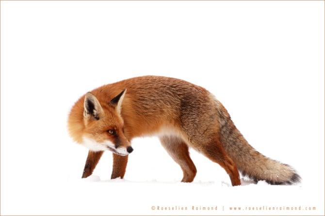 fox_winter1