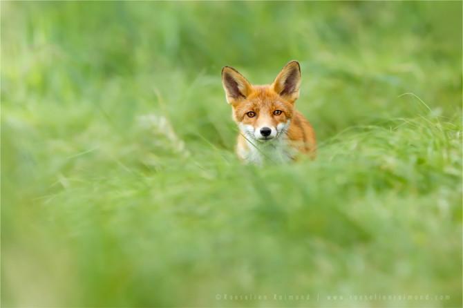 redfox_grass