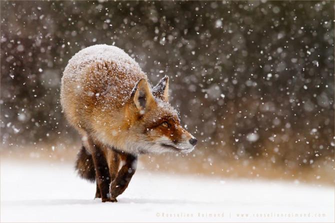 redfox_snow