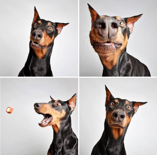 adopted-dog-teton-pitbull-humane-society-utah-19