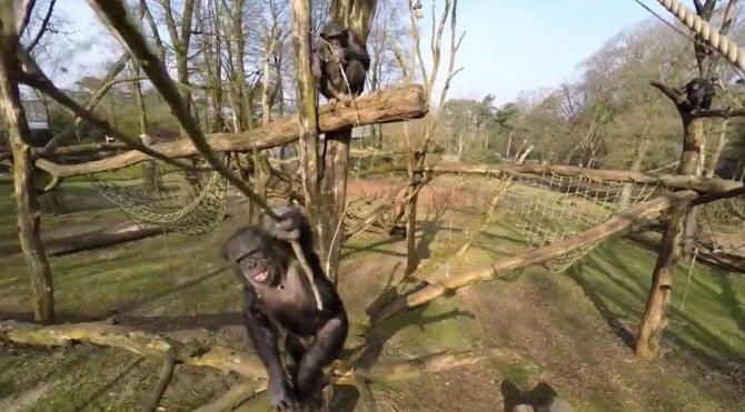 chimp-drone-02