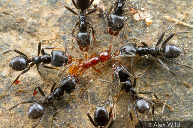 These are either Belizean Infringement Ants picking a poor photographer to death, or Belizean Lawyer Ants dismantling a copyright infringer. Take your pick