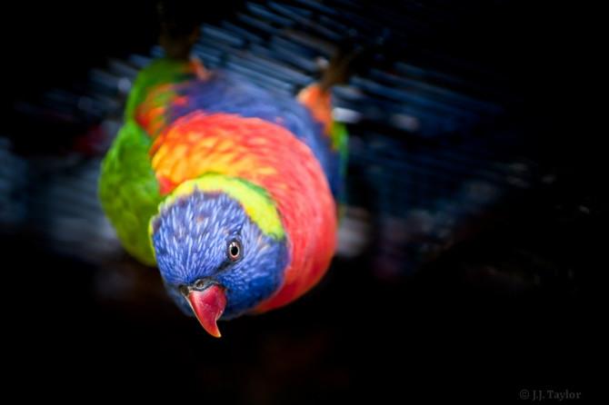 Rainbow Lorikeet, Jacksonville Zoo, Florida 2010.