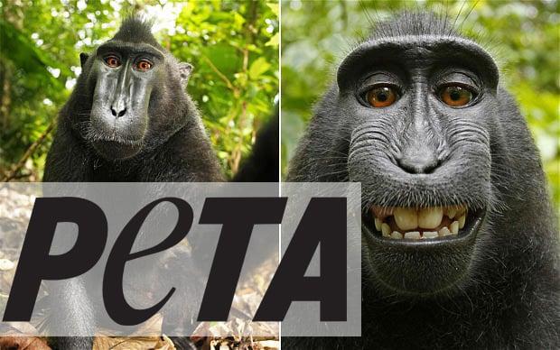 monkey-selfies-peta