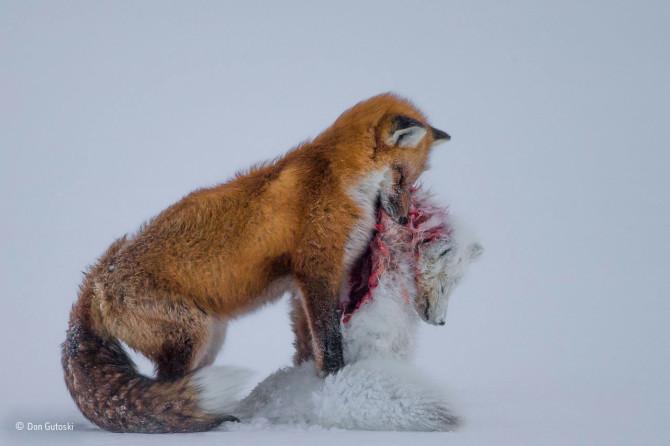 Don Gutoski / Wildlife Photographer of the Year 2015