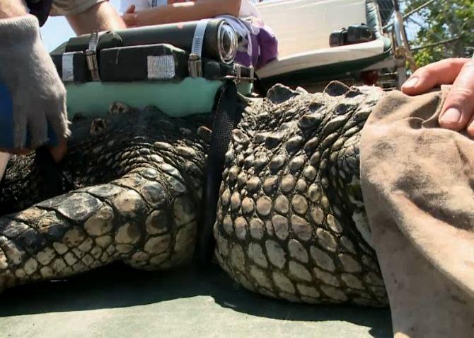 Alligator-Crittercam-2