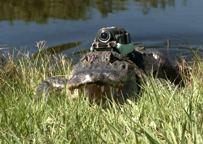 Alligator-Crittercam-3