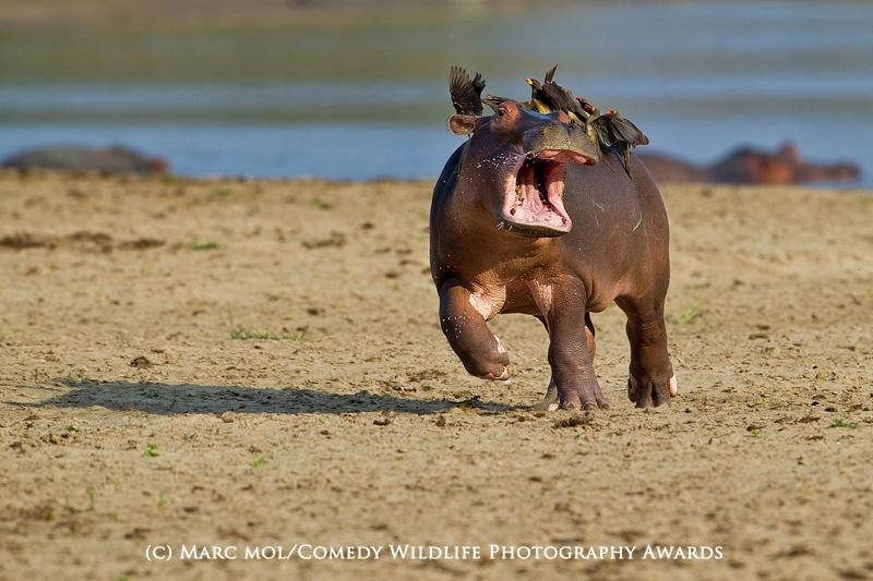 Marc Mol / Comedy Wildlife Photography Awards