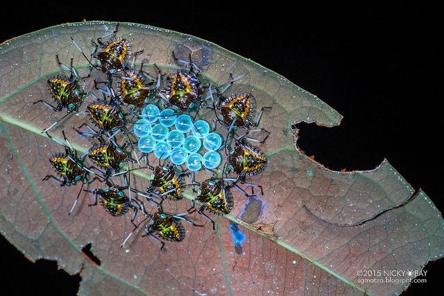 Stink bug nymphs (Pentatomidae). Freshly hatched stink bug nymphs gathering around their egg shells displayed an enchanting fluorescence under ultraviolet