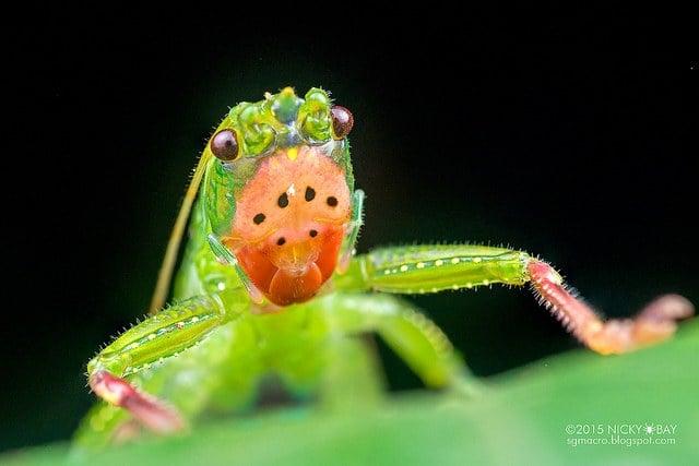 Alien Katydid (Vestria sp.) . Some of the katydids here look like aliens. This was no exception