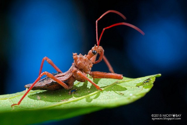 Assassin bug (Reduviidae). For some reason, this assassin bug looked like a toy...