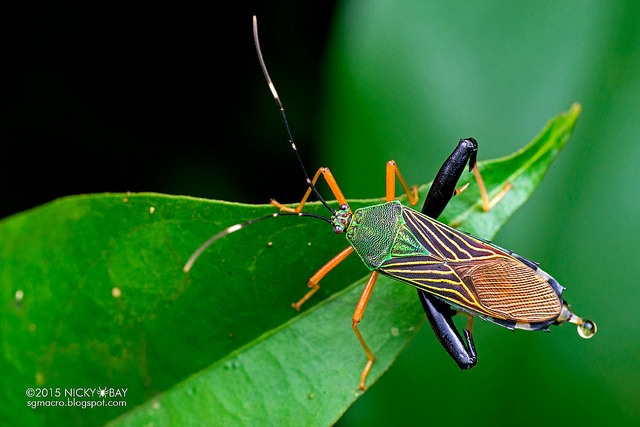 """Squash bug (Coreidae). Colourful looking squash bug with """"muscular"""" hind legs. (and a bit of pee)"""