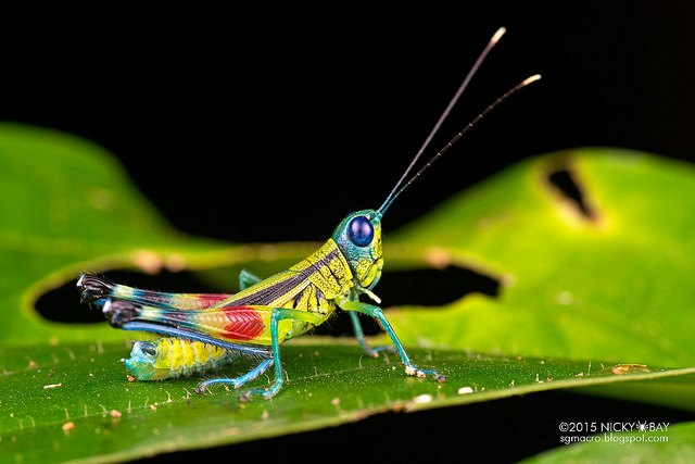 Rainbow Grasshopper (Caelifera). Many of the grasshoppers donned colours that might make a rainbow jealous