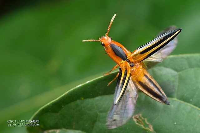Click beetle (Elateridae). One of the many small click beetles taking off