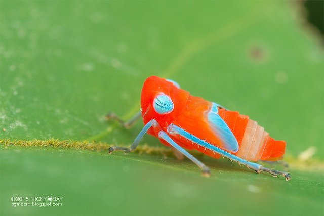 Leafhopper nymph (Cicadellidae). Felt like a kid with a box of crayons did this...