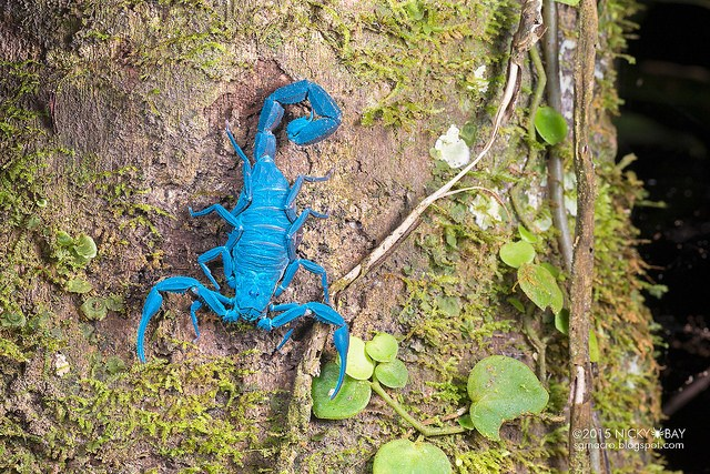 Scorpion (Scorpiones). Some of these scorpions were hanging out on tree trunks at night. Fluoresced brightly under ultraviolet