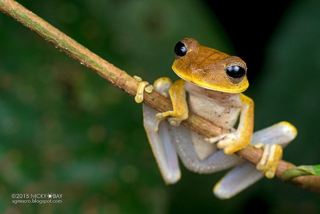Tree frog (Rhacophorida). Several tree frogs chilling out as well!