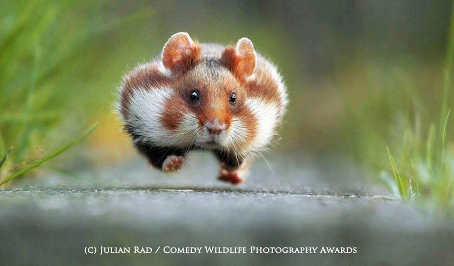 The winning shot. Julian Rad / Comedy Wildlife Photography Awards