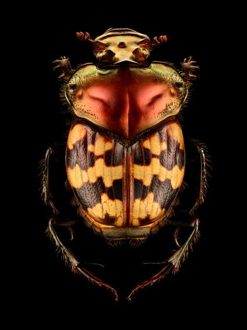 LEVON_BISS_Splendid-necked-Dung-Beetle