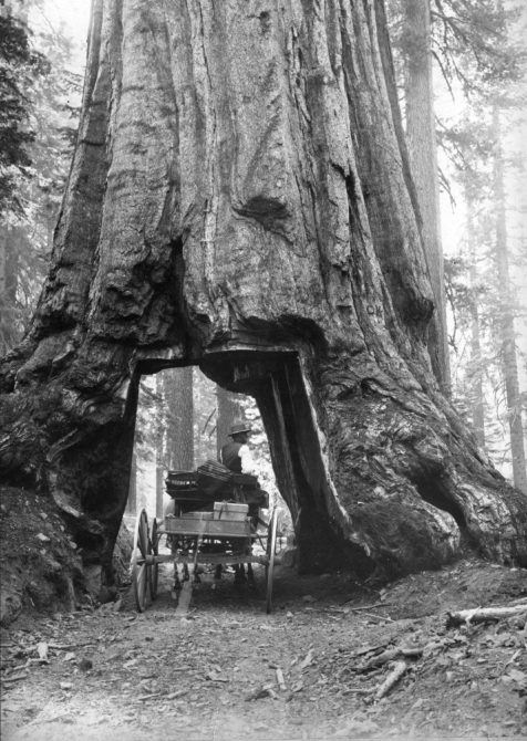 A horse-drawn cart passing through a section cut out of the base of a giant sequoia tree in the Mariposa groves of Yosemite Park, California.