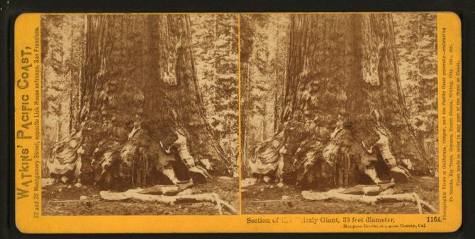 Section_of_the_Grizzly_Giant,_looking_up,_Mariposa_Grove,_Mariposa_County,_Cal,_by_Watkins,_Carleton_E.,_1829-1916_2