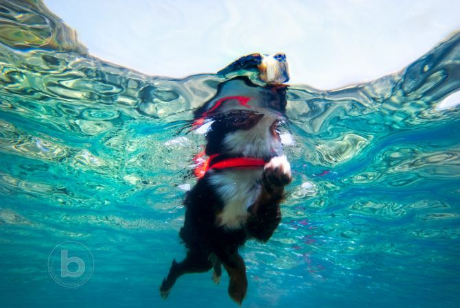 Black, tan and white Bernese Mountain Dog swimming in a clear blue lake with a lifejacket.