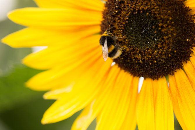 Bee + sunflower smaller