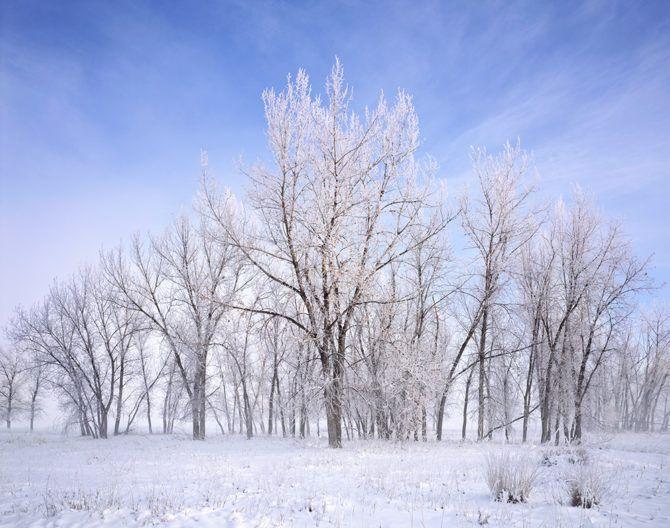 Hoarfrost on cottonwood trees. Near Greeley, Colorado - March 2013