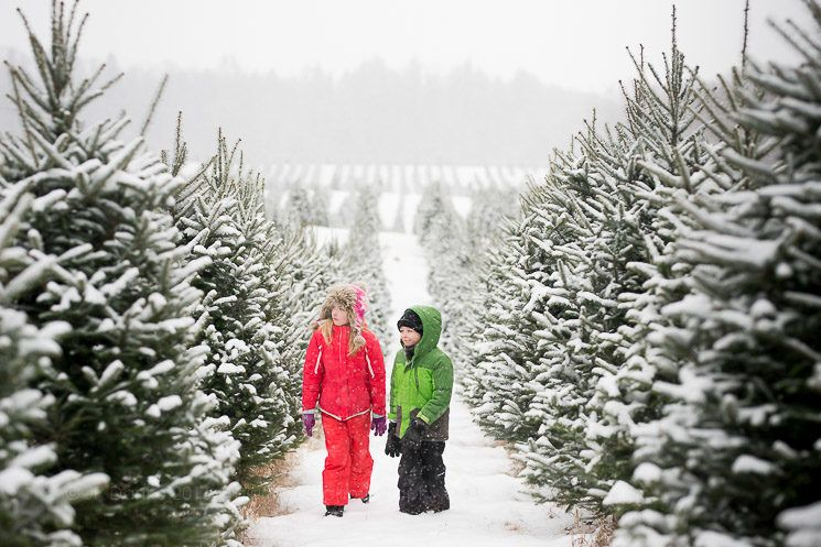 Family lookng for Christmast tree in December at snowy tree farm.