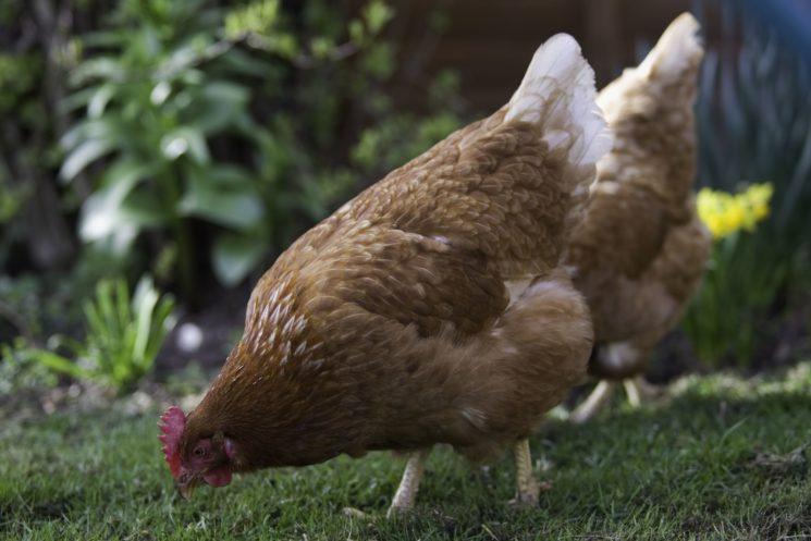 Chicken pecking in the garden