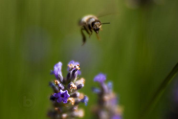 Lensbaby Velvet 85mm Review Nikon Mount - Lavender and Bee